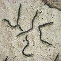 Graphis furcata - Flickr - pellaea.jpg