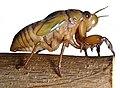 Graptopsaltria-nigrofuscata-nymph-by-Bruno-Uehara.jpg