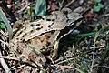 Grasfrosch Rana temporaria 9674.jpg