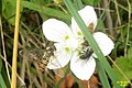 Grass of Parnassus and guests (Eib) (31370431820).jpg