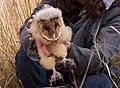 Grass owl.jpg