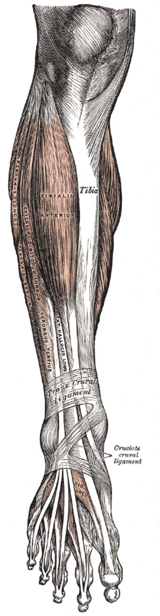 Peroneus muscles - The peroneus muscles are labeled as peroneus longus, peroneus brevis, and peroneus tertius