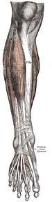 Anterior muscles Gray437.png