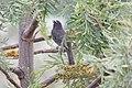 Grayish Saltator (Saltator coerulescens) (5783229717).jpg