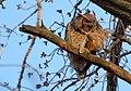 Great Horned Owl (466478892).jpg
