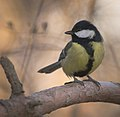 Great tit (32902669561).jpg
