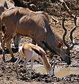 Greater Kudu (Tragelaphus strepsiceros) and Springbok (Antidorcas marsupialis) drinking ... (32271124723).jpg