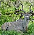 Greater Kudu (Tragelaphus strepsiceros) male resting in the shade ... (50139963156).jpg