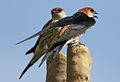 Greater Striped Swallow, Hirundo cucullata (syn. Cecropis cucullata), at Marievale Nature Reserve, Gauteng, South Africa (29876159044).jpg