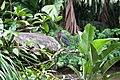 Green Heron-1-2 - Flickr - Ragnhild & Neil Crawford.jpg
