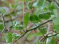 Green Thorn (Balanites maughamii) (11452360286).jpg