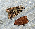 Green brindled Crescent and Chestnut (8049670111).jpg