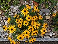 Grenchen - Asteraceae on rock wall.jpg