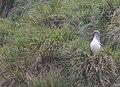 Grey-headed Albatross (Thalassarche chrysostoma) (38923588164).jpg