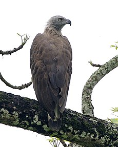 Grey-headed Fish-Eagle (Icthyophaga ichthyaetus) adult - Flickr - Lip Kee (3).jpg