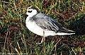 Grey Phalarope Phalaropus Fulicarius (29405449).jpeg