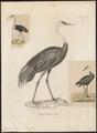 Grus monacha - 1700-1880 - Print - Iconographia Zoologica - Special Collections University of Amsterdam - UBA01 IZ17300085.tif