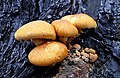 Gymnopilus junonius (30401647445).jpg