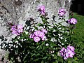 Höstflox( Phlox paniculata) 01.jpg