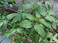 HK Mid-levels High Street clubhouse green leaves plant February 2019 SSG 52.jpg