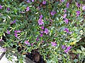 HK TKO 將軍澳 Tseung Kwan O 唐明街公園 Tong Ming Street Park green leaves purple flowers November 2019 SS2 17.jpg