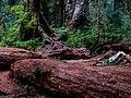 HOHRainForest-OlympicNationalPark2.jpg