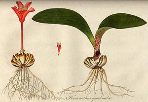 Nikolaus Joseph von Jacquin - Haemanthus pubescens L., Nikolaus Joseph von Jacquin 1798
