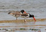 Haematopus palliatus -Union Beach, New Jersey, USA-8.jpg