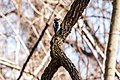 Hairy woodpecker (20258448002).jpg