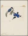 Halcyon macleayi - 1820-1863 - Print - Iconographia Zoologica - Special Collections University of Amsterdam - UBA01 IZ16800113.tif