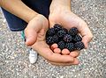 Handful of blackberries.jpg