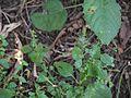 Haplanthodes verticillatus (4163730980).jpg