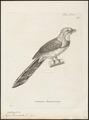Harpactes reinwardtii - 1700-1880 - Print - Iconographia Zoologica - Special Collections University of Amsterdam - UBA01 IZ16700371.tif