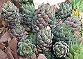 Haworthia coarctata CologneUni.jpg