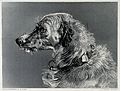 Head of a deerhound. Steel engraving by C. G. Lewis after E. Wellcome V0020843.jpg