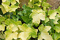 Hedera helix 'Buttercup' Leaves 3008px.JPG