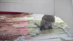Файл:Hedgehog in the back yard - 2014-12-27.webm