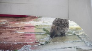 File:Hedgehog in the back yard - 2014-12-27.webm