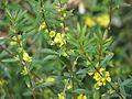Heimia salicifolia (10650356644).jpg