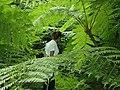 Helechos arborescentes en Mbatovi.jpg
