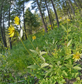 Helianthella uniflora var. douglasii at Squilchuck State Park Chelan County Washington 4.png