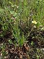 Helianthemum nummularium subsp. tomentosum kz02.jpg
