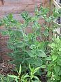 Helianthus mollis buds - Flickr - peganum.jpg