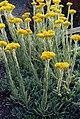Helichrysum plicatum ssp plicatum 2.jpg