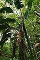 Heliconia vellerigera (Heliconiaceae) (30252727496).jpg