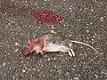 Hellschen tote ratte mit blutfleck.JPG