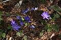 Hepatica nobilis 09.jpg