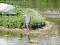 Heron (14193822129).jpg