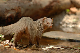 Mongoose - Indian gray mongoose, Herpestes edwardsii