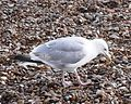 Herring Gull 012.JPG